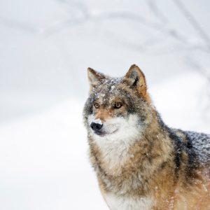 Wolf_fotograaf Bob Luijks_