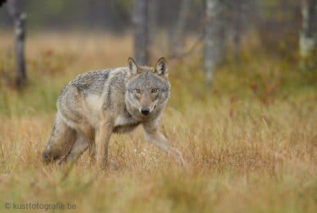 Wolf - foto: Misjel Decleer