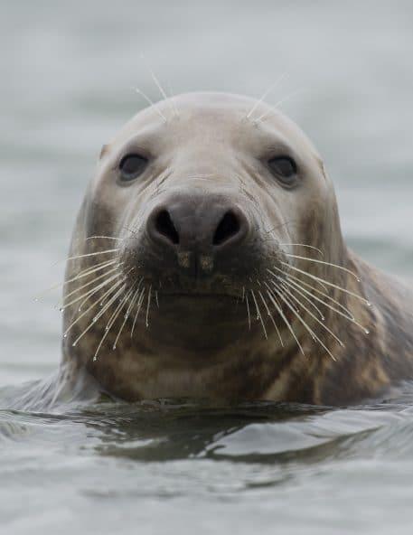 Grijze zeehond - foto: Martin Steenhaut