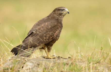Buizerd - foto: Hugo Willocx