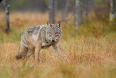 Europese wolf - foto: Misjel Decleer