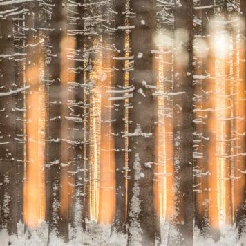Winters sparrenbos - foto: Bob Luijks