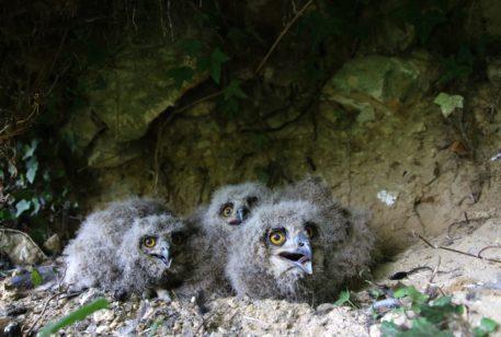 Oehoe-kuikens - foto: Stef van Rijn