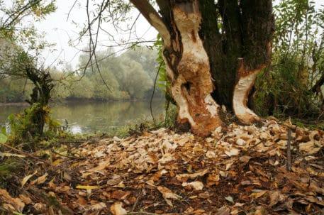 Beverboom - foto: Twan Teunissen