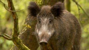 Wild zwijn - foto: Henri van Vliet