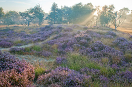 Heide - foto: Wim Dirckx