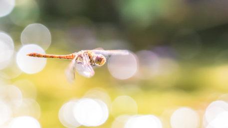 Heidelibel - foto: Erik Willaert