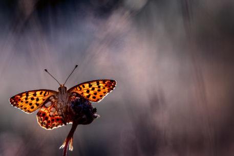 Kleine parelmoervlinder - foto: Sandy Spaenhoven