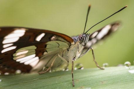 IJsvogelvlinder - foto: Sandy Spaenhoven