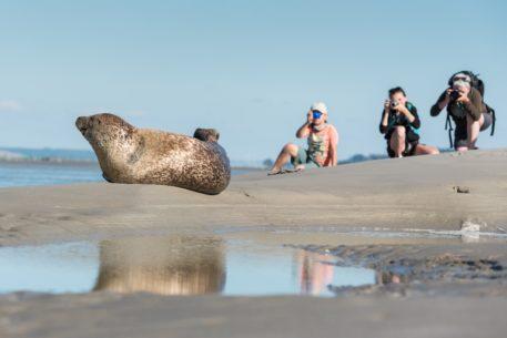 Gewone zeehond - foto: Sandy Spaenhoven