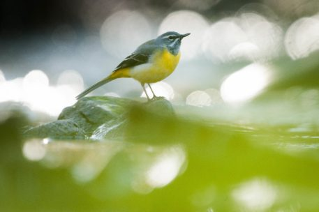 Grote gele kwikstaart - foto: Wim Dirckx