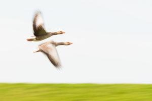 Grauwe ganzen - foto: Sandy Spaenhoven