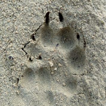 Dubbelprent van wolf - foto: Jan Loos