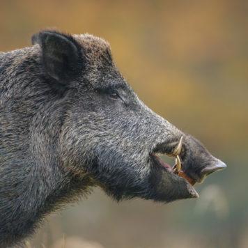Wild zwijn - foto: Neil Burton
