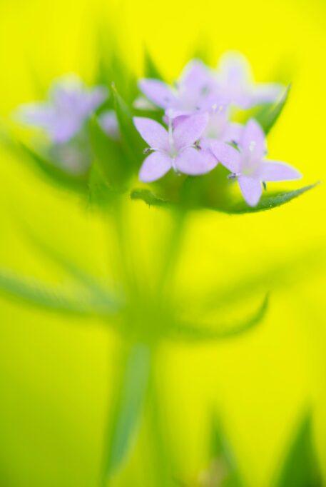 Blauw walstro - foto: Nico van Kappel