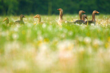 Grauwe ganzen - foto: Nico van Kappel
