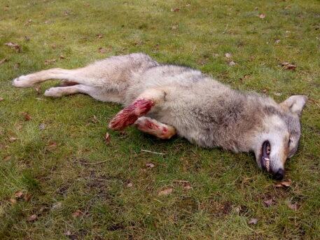 Wolf Roger doodgereden in Opoeteren op 11 maart 2018 - foto: Jan Loos