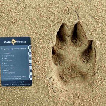 Achtervoet van wolf - foto: Jan Loos
