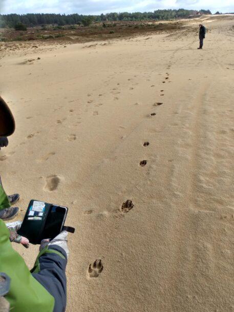Galopspoor van wolf - foto: Jan Loos