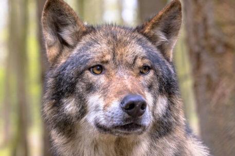 Wolf- foto: Rudmer Zwerver