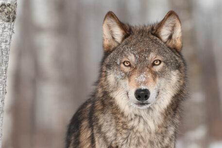 Winterse wolf - foto: Holly Kuchera