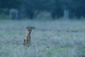 Coverbeeld met wolf Billy - Pieter-Jan D'Hondt