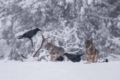 Wolven en raven bij een dood edelhert - foto: Pawel Brud