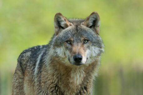 Europese wolf