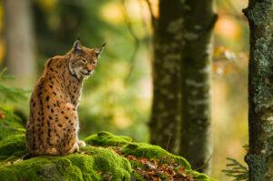 Europese lynx - foto: Loulou Beavers