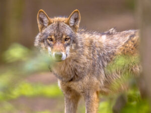 Wolf - foto: Rudmer Zwerver