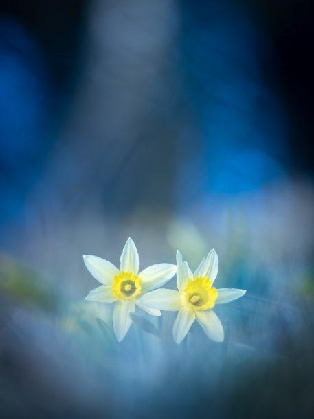 Wilde narcissen - foto: Hans Debruyne