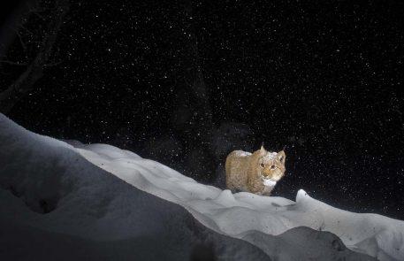 Europese lynx - foto: Laurent Geslin