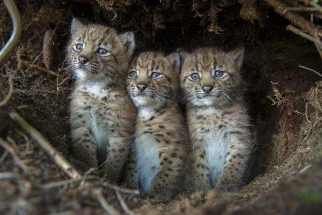 Europese lynx kittens - foto: Laurent Geslin