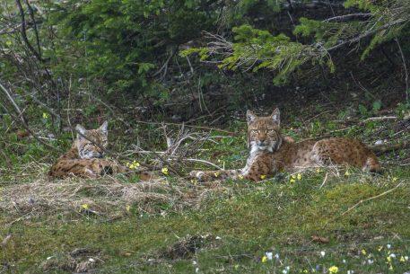 Koppel lynx - foto: Laurent Geslin